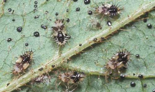 Azalea lace bugs