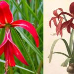 Red flower of Jacobean lily and botanical print from 1800's