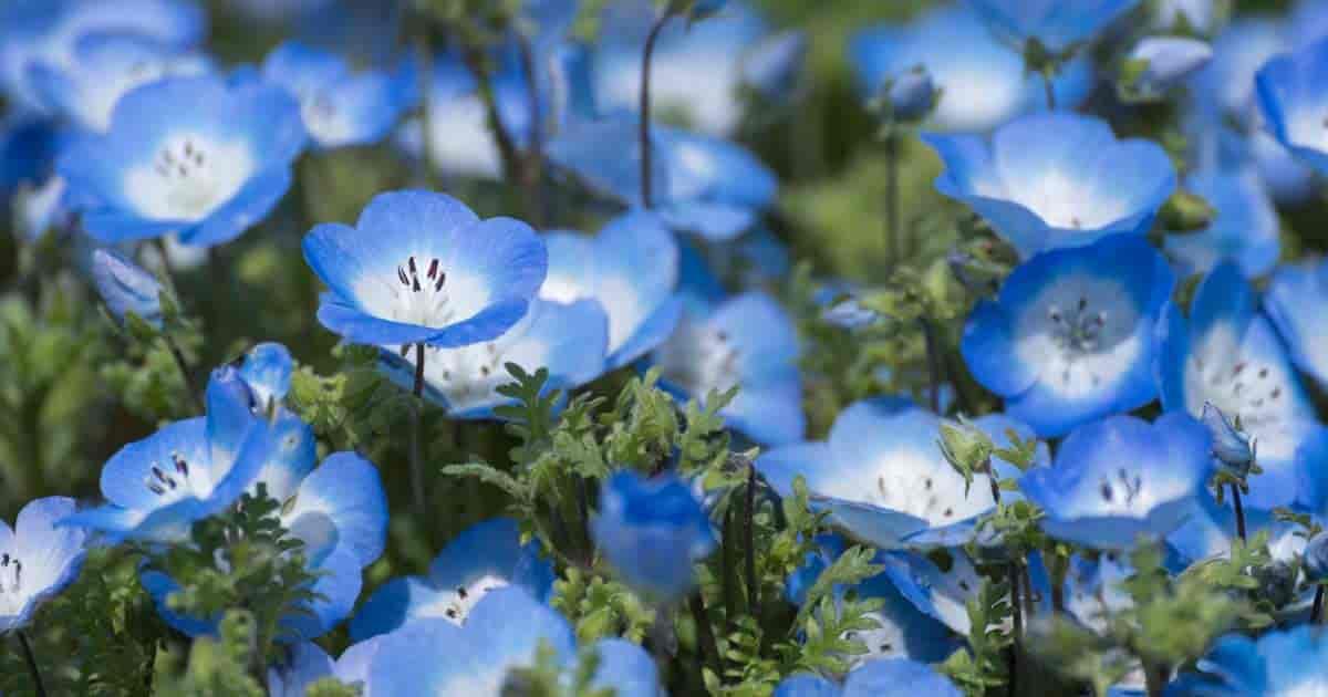 Pretty Baby Blue Flowers on The Nemophila plant