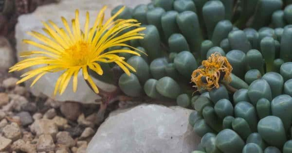 fenestraria plant with flower