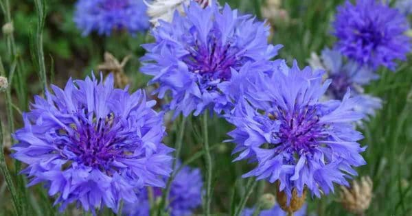 Close Up of Blue Bachelor button flowers