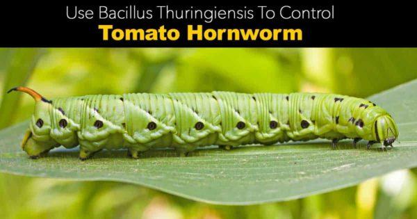 bacillus thuringiensis kills tomato hornworms
