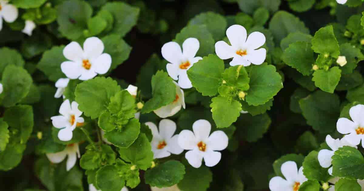 Flowering Bacopa (Sutera Cordata)