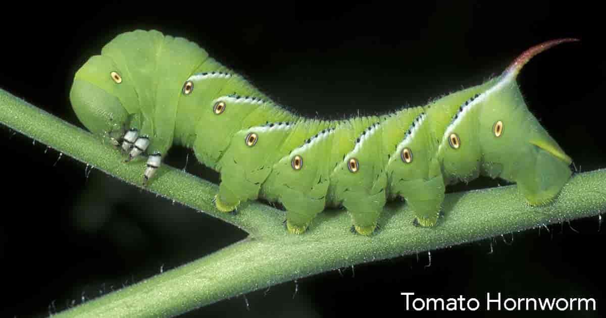 tomato hornworm crawling on tomato leaf