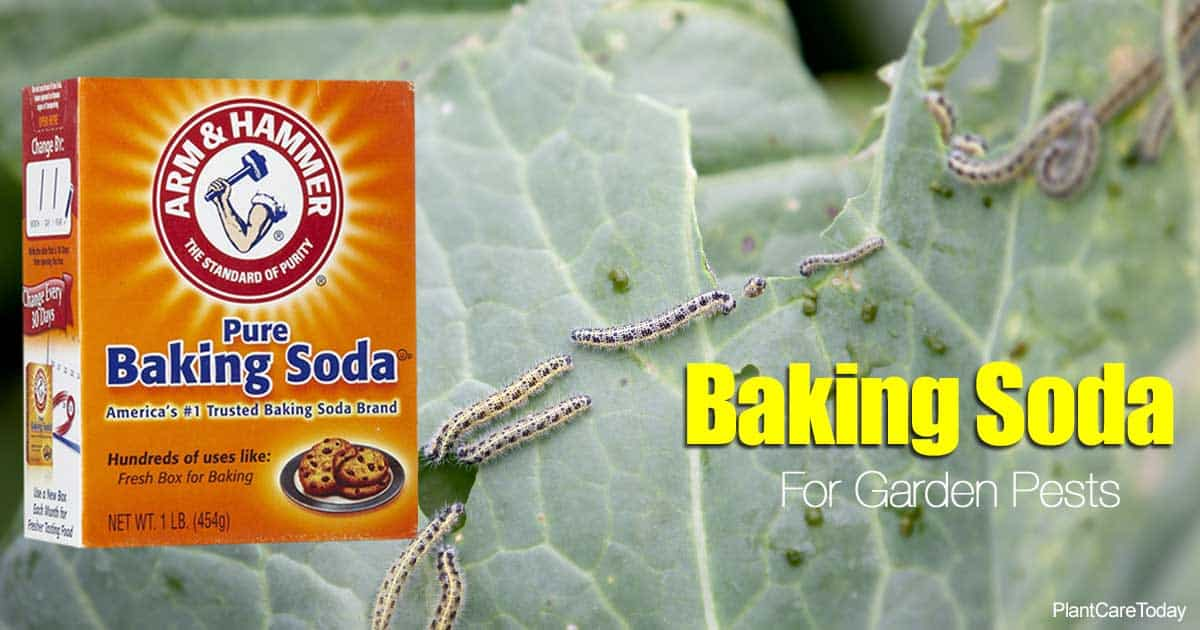 baking soda and cabbage worms