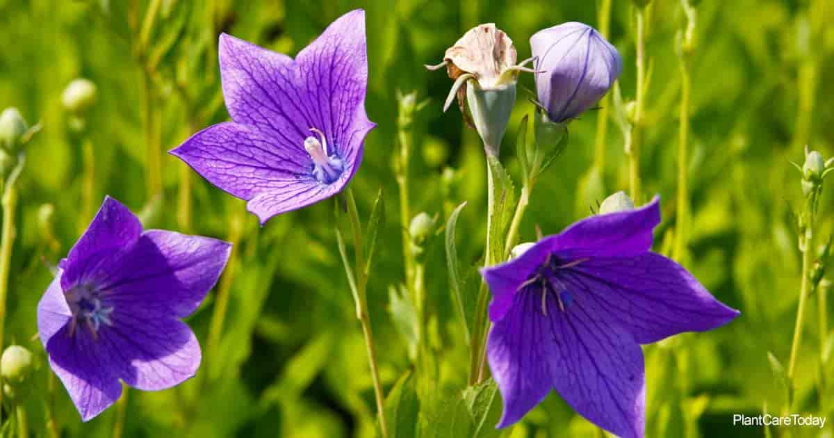 Blooming Platycodon Grandiflorum aka Balloon Flower