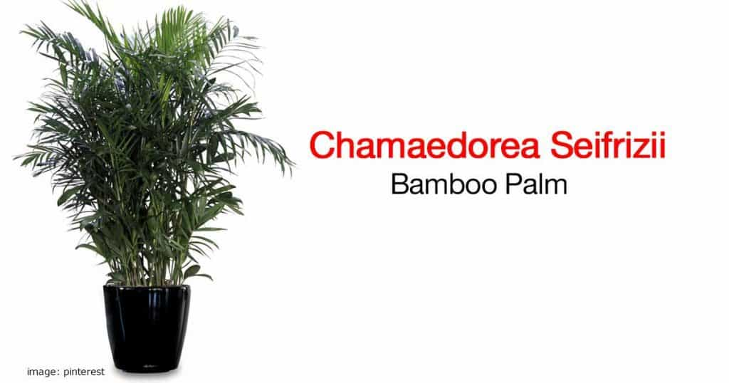 The beautiful bamboo palm