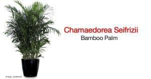 The beautiful bamboo palm