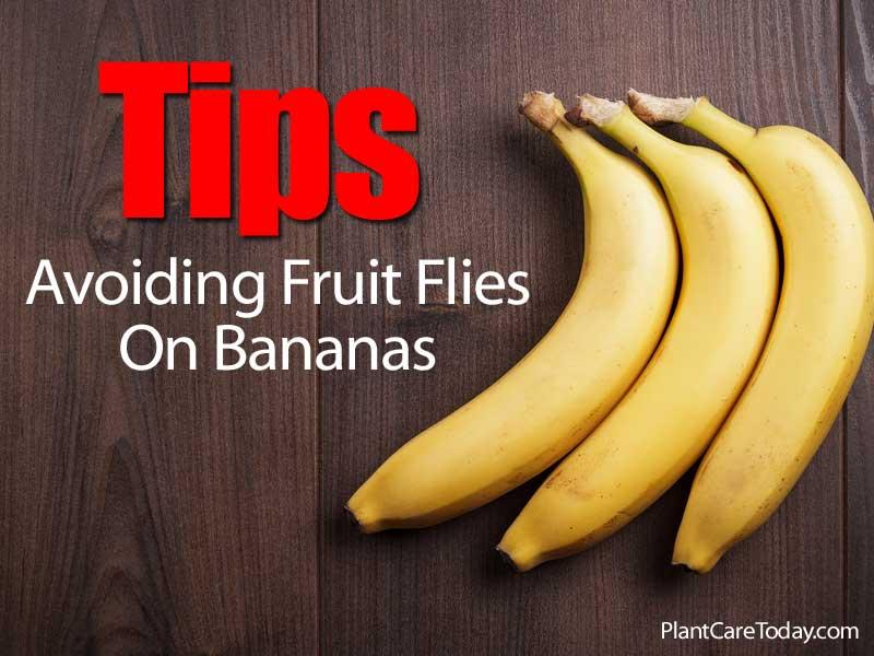 Tips Avoiding Fruit Flies On Bananas