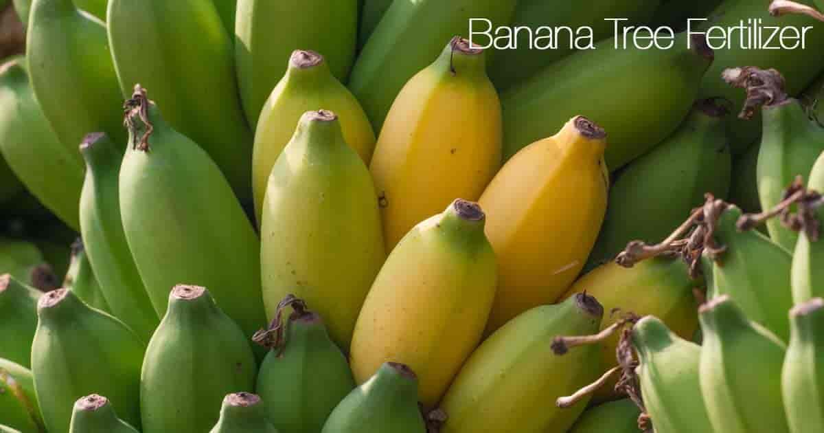 ripe bananas on the tree