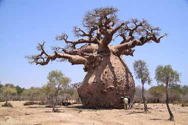 The Boabab Tree Known As Upside Down Tree