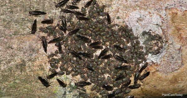 colony of bark lice