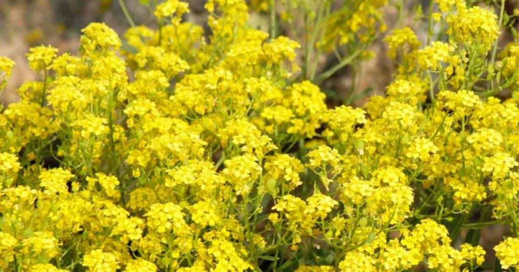 Flowering Basket Of Gold - Aurinia Saxatilis