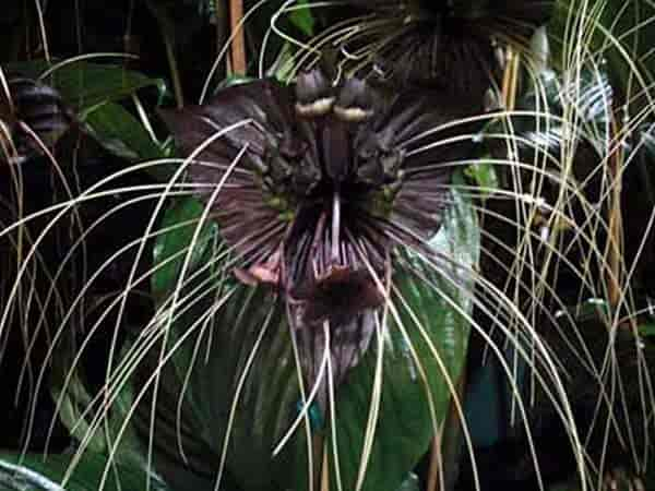 bat flower plant up close with the long whiskers