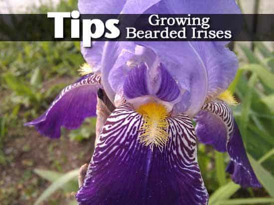 Tips On Growing Bearded Irises