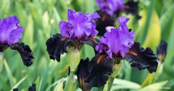 Colorful flowers of the Bearded Iris