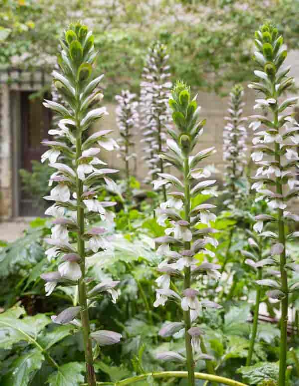Bears Breeches Plant Acanthus Mollis Growing And Care