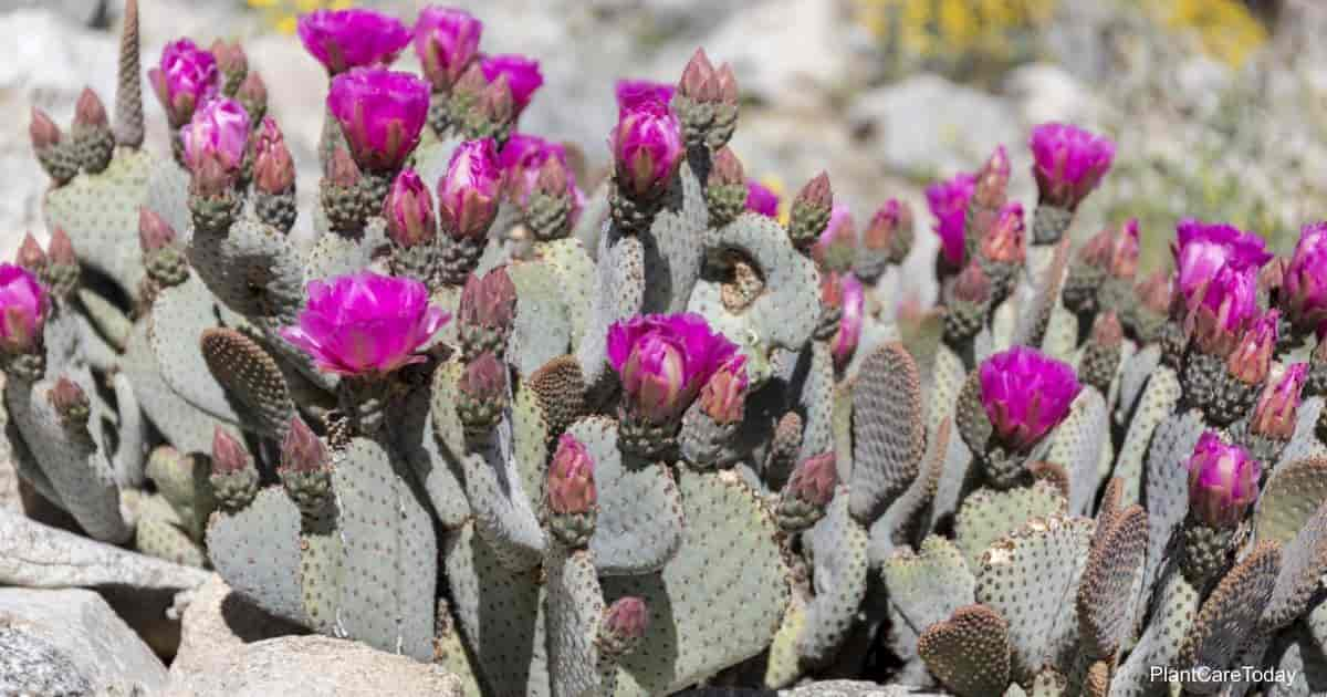 Flowering beavertail cactus
