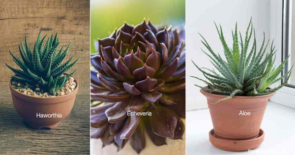 Succulents for the bedroom - Haworthia, Echeveria, Aloe vera and other aloes