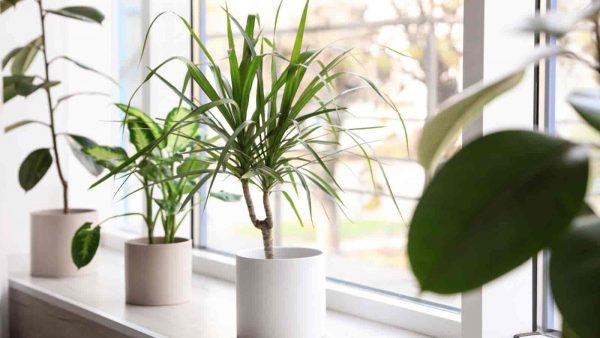 Plants growing on windowsill - Rubber Plant | Dieffenbachia | Dracaena Marginata