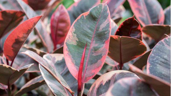Variegated rubber Ficus elastica plant