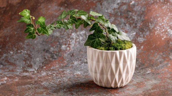 potted english ivy in decorative container