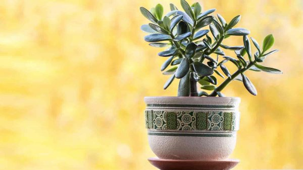 Jade Plant is Decorative planter