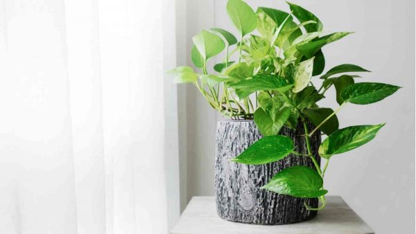 Golden Pothos (Epipremnum aureum) sitting on a table in decorative container