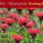 Bee Balm: How To Grow And Care For Monarda