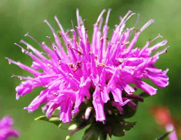Lilac bee balm monarda flower up close
