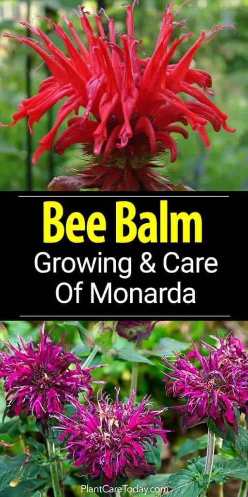 bird attracting flowers of Bee Balm - Monad