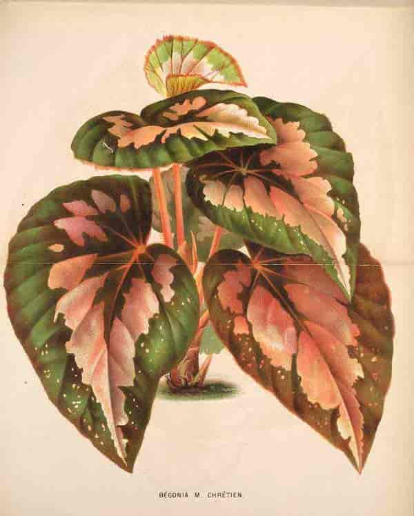 1871 Begonia Rex illustrations