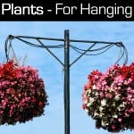 Begonia Hanging Baskets: Growing And Care Of Hanging Begonias