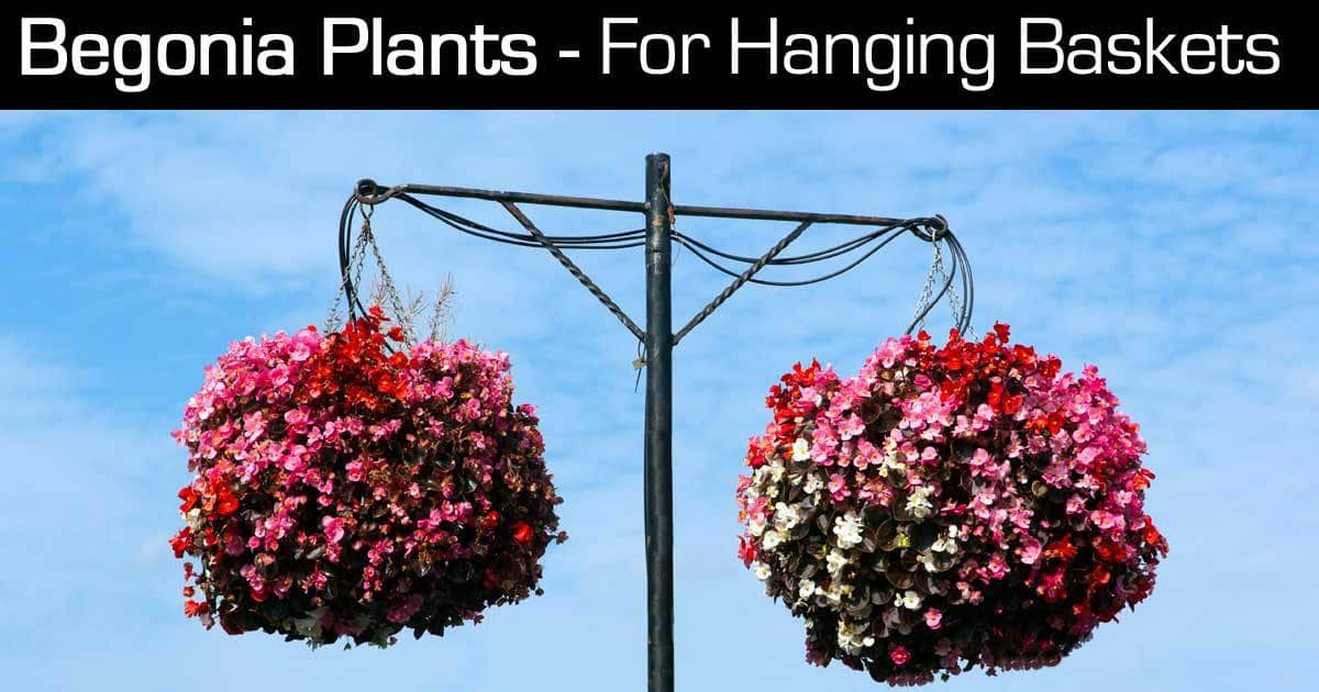Begonia Hanging Baskets