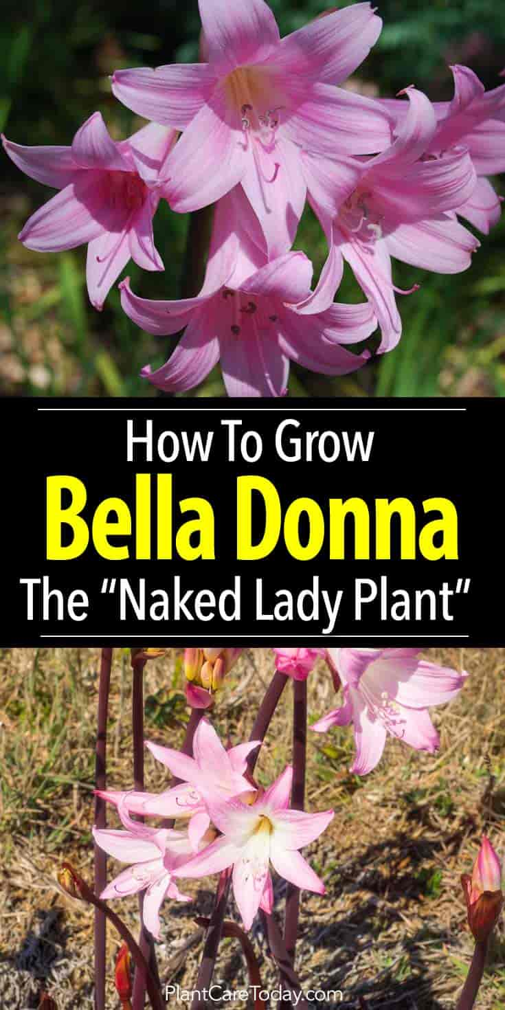 Belladonna plant care how to grow the amaryllis belladonna lily bulb izmirmasajfo Image collections