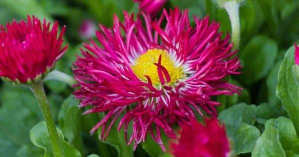 Bellis Flower - English Daisy