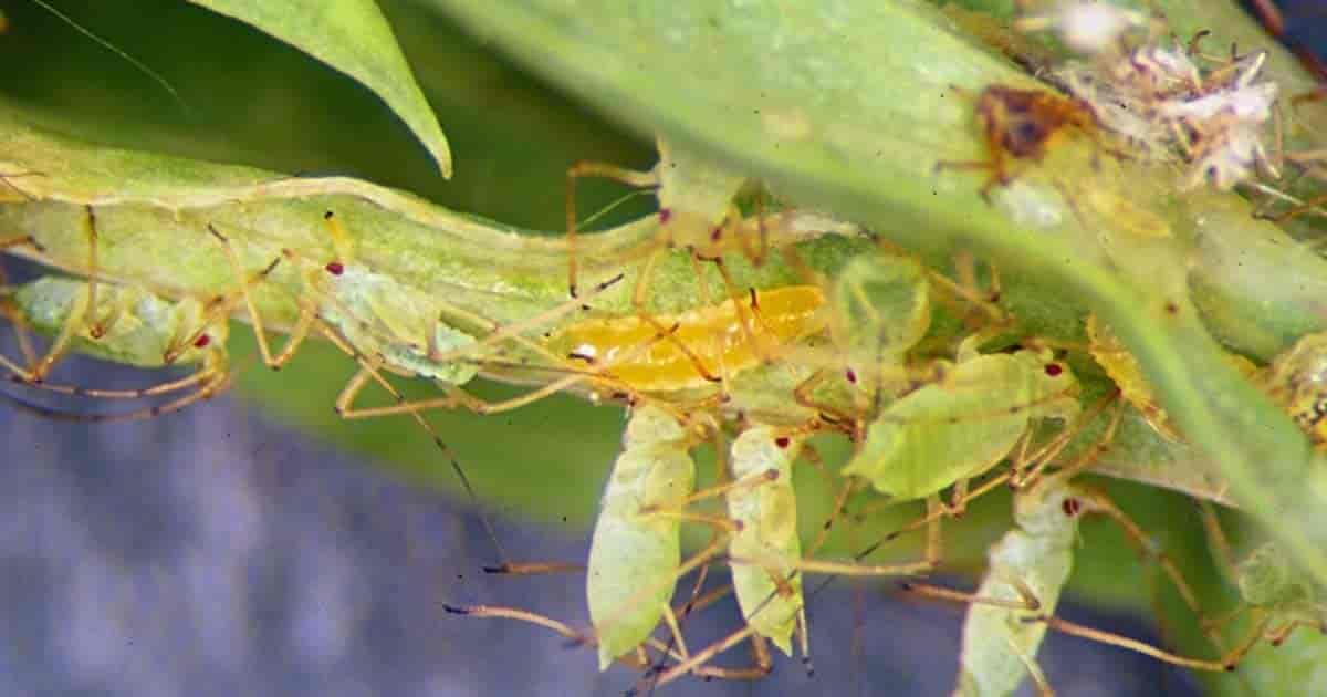 Aphid Midge larvae feeding on green aphids