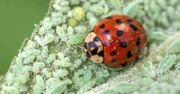 ladybug also known as Lady Beetle feeding on Aphids
