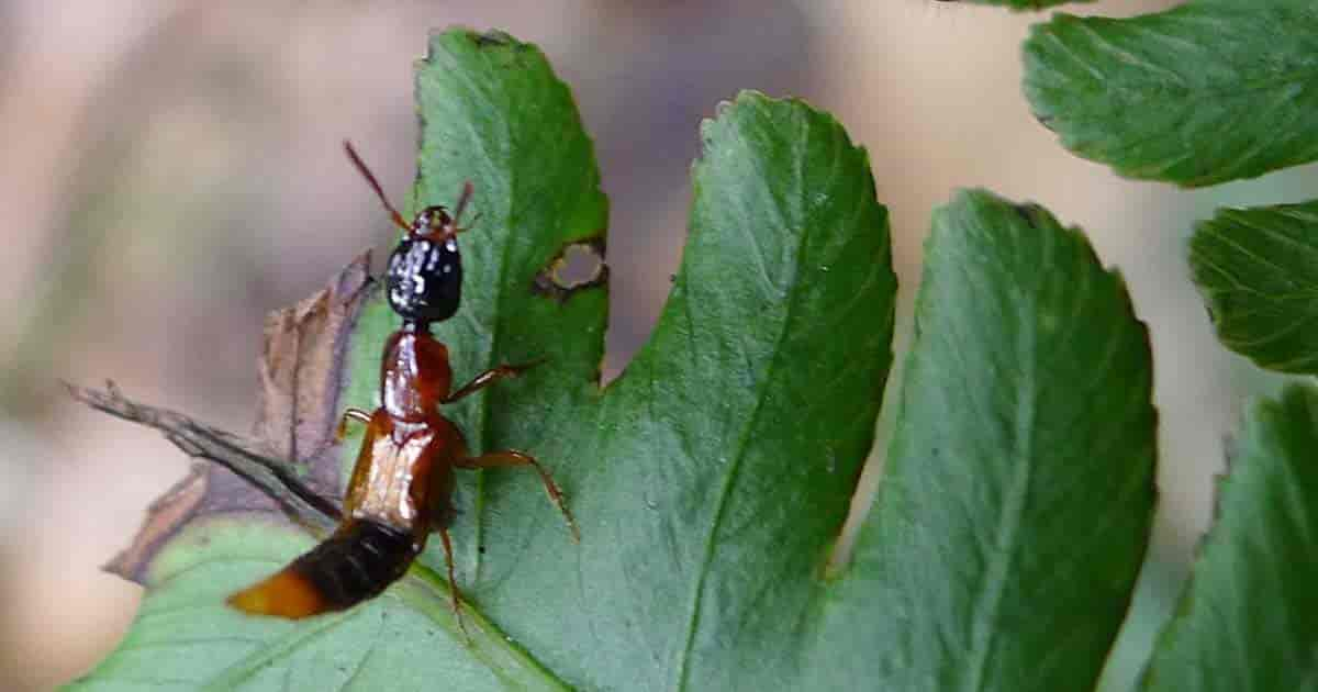 Beneficial insect Rove Beetle