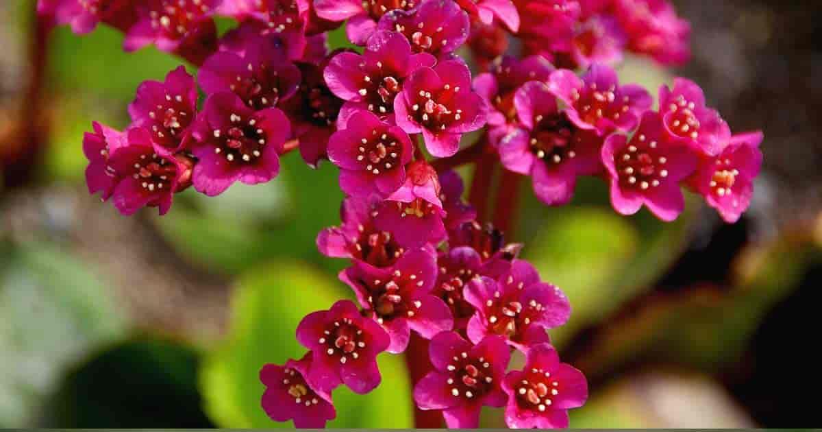 Flowering heartleaf Bergenia