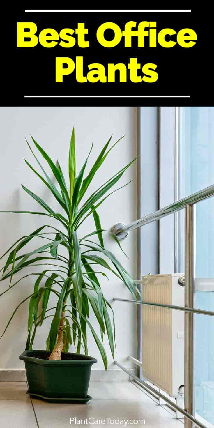Yucca plant indoors as an office plant