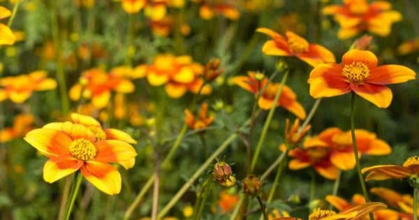 The flowering plant Bidens make great looking additions to container gardens, hanging baskets and window boxes in full or part sun