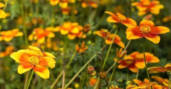 flowering Bidens plant