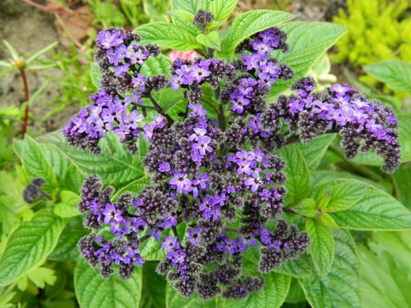 Heliotrope flower in the garden in summer