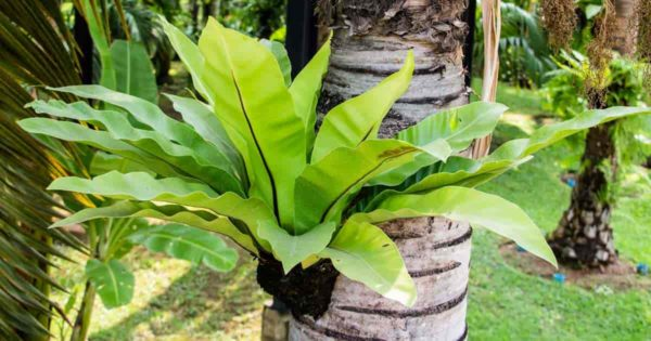 Bird nest Asplenium growing on a palm tree