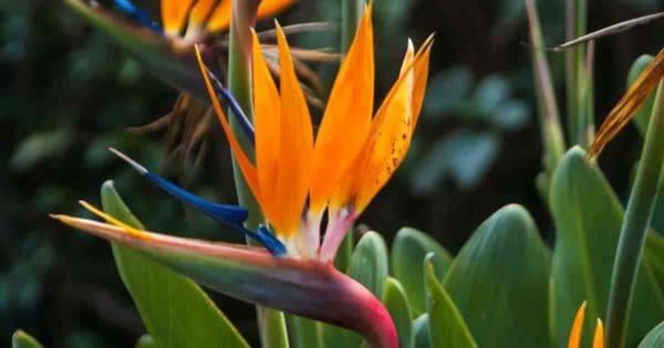 Flowering bird Strelitzia reginae