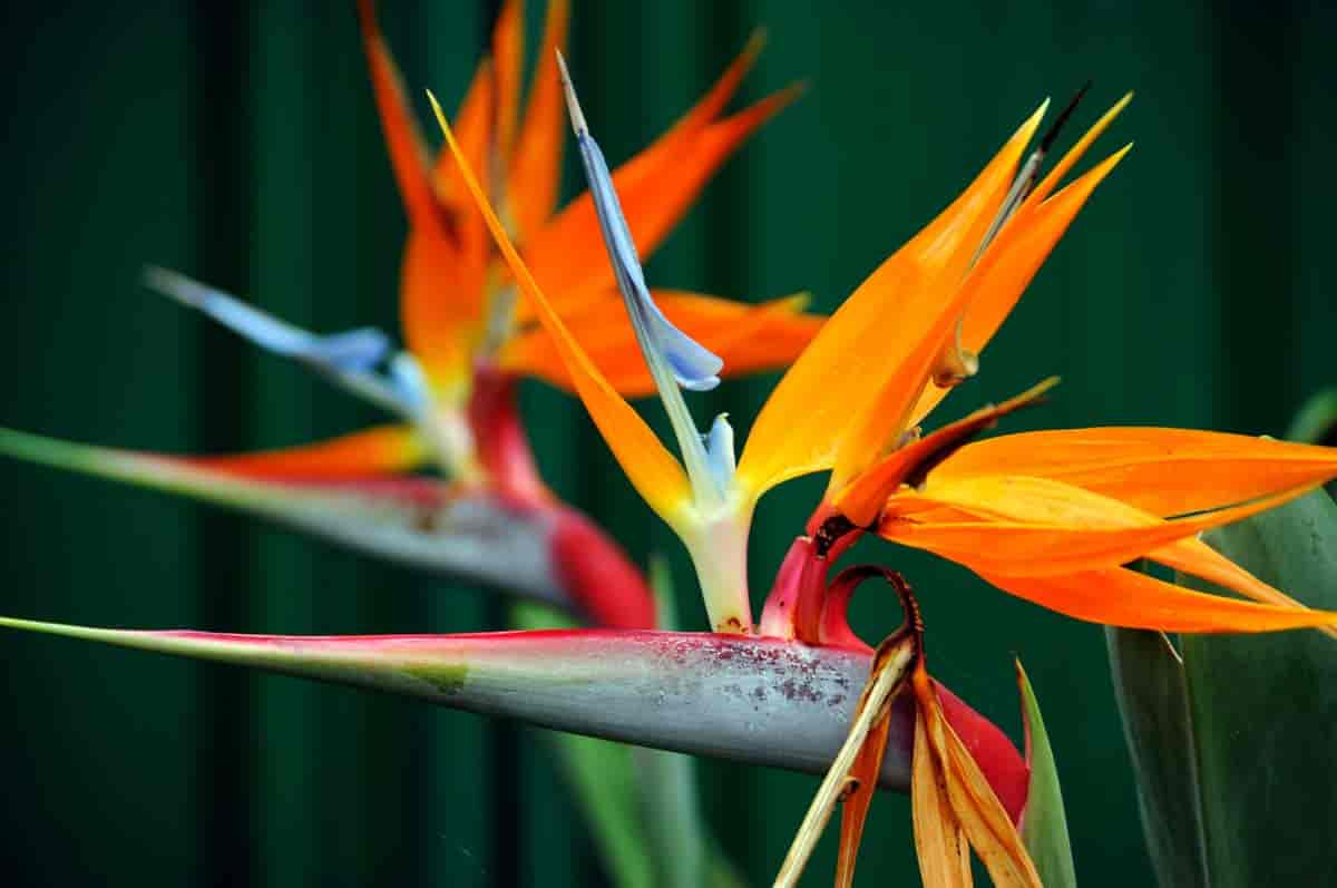 Strelitiza Flower - Bird of Paradise