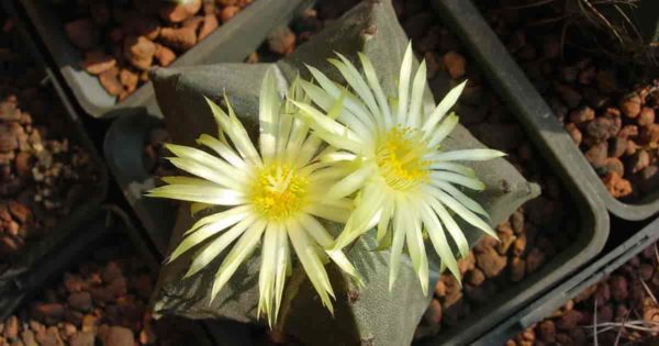 Bishop's cap Astrophytum cactus