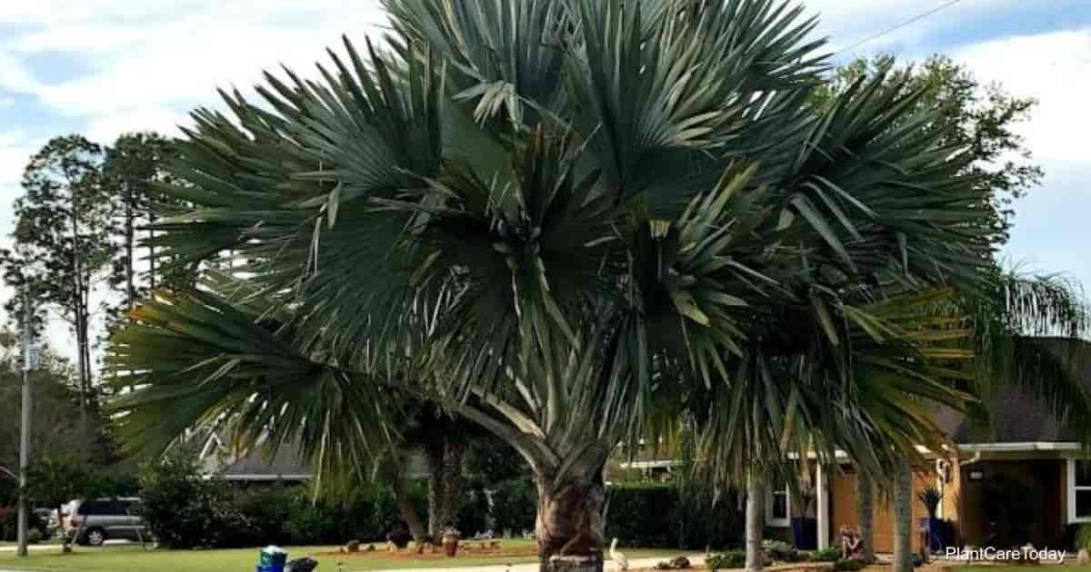 The silver fan fronds of Bismarckia Palm