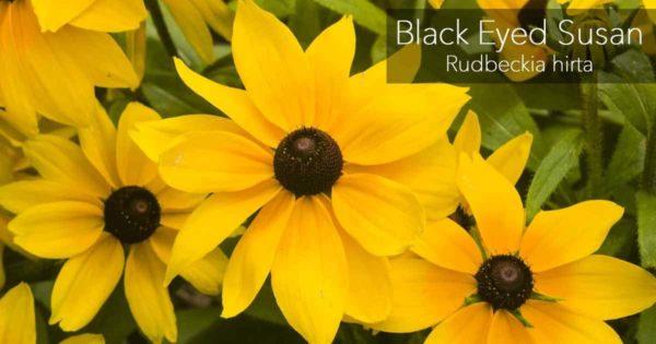 Blooming Black Eyed Susan